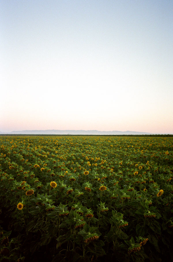Dixon Sunflower Field